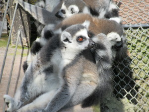 This pile of lemurs was curled up right beside the monkey door, close enough to touch, with no barrier. Luckily I restrained myself.